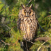 Long-eared Owl - Photo (c) Vyacheslav Luzanov, some rights reserved (CC BY-NC)