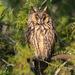 ינשוף עצים - Photo (c) Vyacheslav Luzanov,  זכויות יוצרים חלקיות (CC BY-NC)