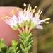 Agathosma capensis - Photo (c) Dave U, algunos derechos reservados (CC BY)