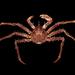 Lithodes maja - Photo (c) Ondřej Radosta,  זכויות יוצרים חלקיות (CC BY-NC)
