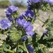 Distant Phacelia - Photo (c) Matt Berger, some rights reserved (CC BY)