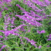 Mexican Bush Sage - Photo (c) Eric Hunt, some rights reserved (CC BY-NC-ND)