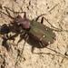 Cicindela campestris olivieria - Photo (c) Anna N Chapman, algunos derechos reservados (CC BY)