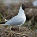 Black-headed Gull - Photo (c) Alexey Zyryanov, some rights reserved (CC BY-NC)