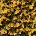Liquen Naranja - Photo (c) mollyopsis, algunos derechos reservados (CC BY-NC)