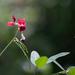 Frijoles de Monte - Photo (c) Suzanne Labbé, algunos derechos reservados (CC BY-NC)