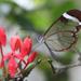 Mariposa Alas de Cristal Oxidada - Photo (c) Jaico Caballero, algunos derechos reservados (CC BY-NC)