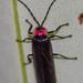 Pyractonema - Photo (c) MatiasG, alguns direitos reservados (CC BY-NC)