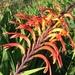 Chasmanthe floribunda - Photo (c) lilredhen, algunos derechos reservados (CC BY-NC)