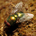Blue-green Bottle Fly - Photo (c) Katja Schulz, some rights reserved (CC BY)