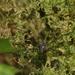 Nomoclastidae - Photo (c) blackdogto, alguns direitos reservados (CC BY-NC)