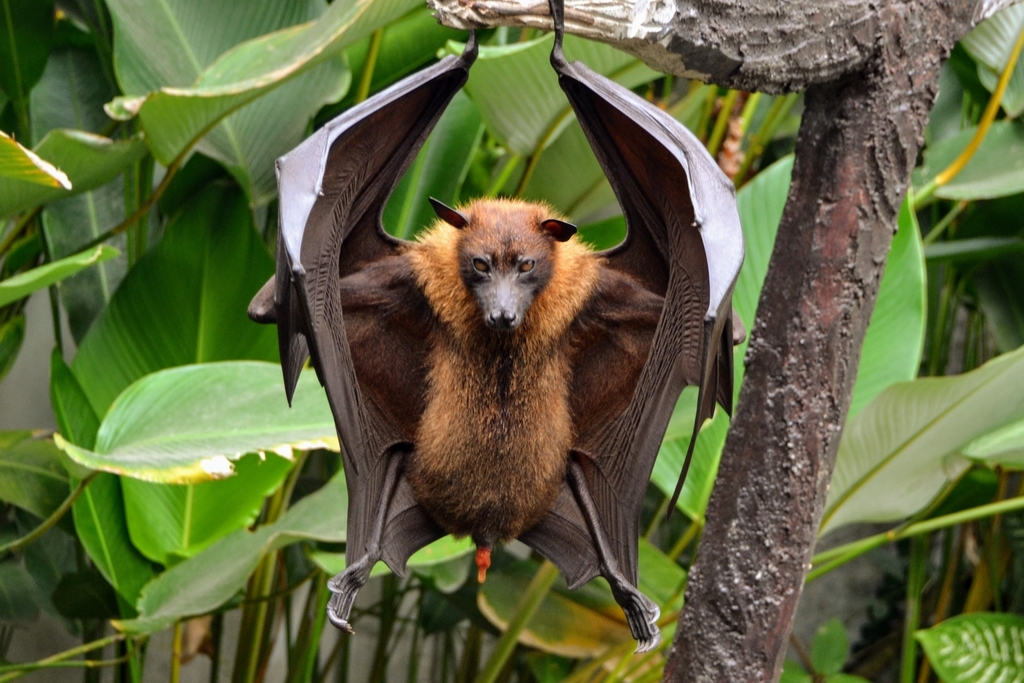 Large Flying Fox - Photo (c) Pirataber, some rights reserved (CC BY)