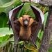 Zorro Volador de Cuello Rojo - Photo (c) Pirataber, algunos derechos reservados (CC BY)