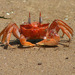 Painted Ghost Crab - Photo (c) Rich Kostecke, some rights reserved (CC BY-NC)