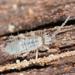 Entomobrya unostrigata - Photo Ningún derecho reservado