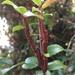 Pucciniastrum goeppertianum - Photo ללא זכויות יוצרים