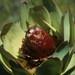 Leucadendron tinctum - Photo (c) Tom Lloyd Evans, algunos derechos reservados (CC BY-SA)