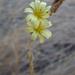 Lactuca saligna - Photo (c) randomtruth, algunos derechos reservados (CC BY-NC-SA)
