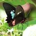 Mariposa Corazón de Borde Rosa - Photo (c) Cynthia Tercero, algunos derechos reservados (CC BY-NC-ND)