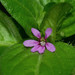 Colombian Waxweed - Photo (c) James Duggan, some rights reserved (CC BY-SA)