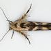 Stathmopoda melanochra - Photo (c) jb2602, alguns direitos reservados (CC BY-NC)