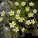 Saxifraga aspera - Photo (c) Michael Wunderli, some rights reserved (CC BY)