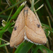 Wedgling Moth - Photo (c) kens18, some rights reserved (CC BY-NC)