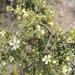 Purshia mexicana - Photo (c) M. Socorro González Elizondo, μερικά δικαιώματα διατηρούνται (CC BY-SA)