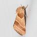 Schinia oleagina - Photo (c) Lee Hoy, μερικά δικαιώματα διατηρούνται (CC BY-NC-ND)
