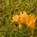 Hongo Coral de Prado Naranja - Photo (c) David Evans, algunos derechos reservados (CC BY)