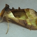 Hologram Moth - Photo (c) Jenn Forman Orth, some rights reserved (CC BY-NC-SA)