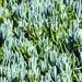 Bálsamo Azul - Photo (c) Jonny Sperling, algunos derechos reservados (CC BY-NC)