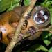 Mico de Noche Andino - Photo (c) David Monroy R, algunos derechos reservados (CC BY-NC)