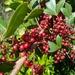 Schinus terebinthifolia - Photo (c) Marcia Ford, μερικά δικαιώματα διατηρούνται (CC BY-NC)