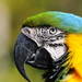 Parrots - Photo (c) Ralph Daily, some rights reserved (CC BY)