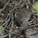 Long-haired Soft-haired Mouse - Photo (c) Hederd Torres García, some rights reserved (CC BY-NC)
