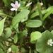 Claytonia parviflora - Photo (c) Nature Ali, algunos derechos reservados (CC BY-NC-ND)