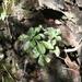 Echeveria chapalensis - Photo (c) Ignacio Torres García, algunos derechos reservados (CC BY-NC)