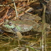 Cyprus Water Frog - Photo (c) desertnaturalist, some rights reserved (CC BY)