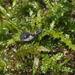 Mitostoma chrysomelas - Photo (c) Pascal Dubois, μερικά δικαιώματα διατηρούνται (CC BY-NC)
