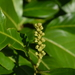 Cherry Laurel - Photo (c) Mathieu Gilbert, some rights reserved (CC BY-NC)
