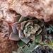 Graptopetalum bartramii - Photo (c) Lizann Michaud, algunos derechos reservados (CC BY-NC)