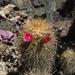 Mammillaria rekoi aureispina - Photo (c) Jose Antonio Aranda Pineda, algunos derechos reservados (CC BY)