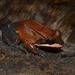 Leptodactylidae - Photo (c) Junner Gonzalez,  זכויות יוצרים חלקיות (CC BY-NC)
