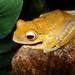 Bright-eyed Frogs - Photo (c) Loïc  Denès, some rights reserved (CC BY-NC-SA)