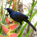 Melodious Blackbird - Photo (c) Ad Konings, some rights reserved (CC BY-NC)