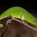Calumma gastrotaenia - Photo (c) Tommy Hui, alguns direitos reservados (CC BY-NC)