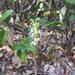 Prasophyllum incurvum - Photo (c) Keith Martin-Smith, μερικά δικαιώματα διατηρούνται (CC BY-NC-ND)