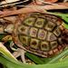 Homopus areolatus - Photo (c) Gawie Malan, algunos derechos reservados (CC BY-NC)