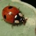 Two-spotted Lady Beetle - Photo (c) Alexis, some rights reserved (CC BY)